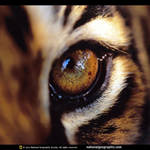 Real Tiger eye